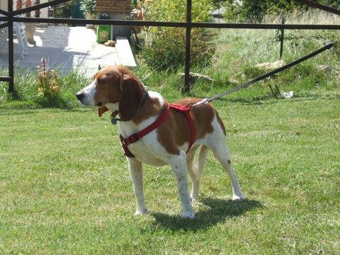 CALLIE, beagle femelle, 4 ans - Carcassonne (11) Dscf5690